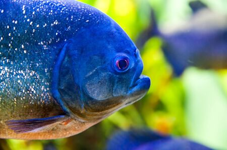 Detail of Piraya Piranha Stock Photo - 17329420