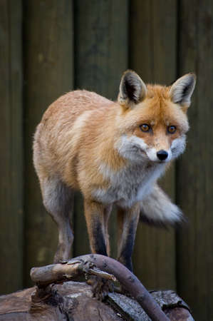 Red Fox scent something photo