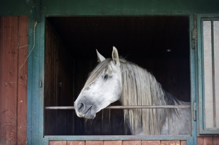 horse stable: White Horse in a Stable