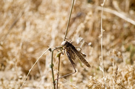 desiccated: Grasshopper in a desiccated Meadow Stock Photo