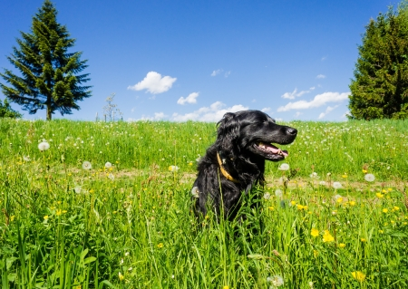 Black Labrador sitting in a summer meadow Stock Photo - 18256268