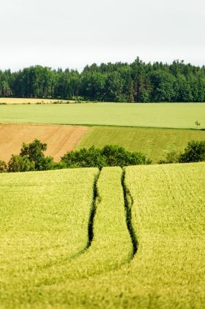 skidmark: Tractor track in a corn field, taken in upper austria