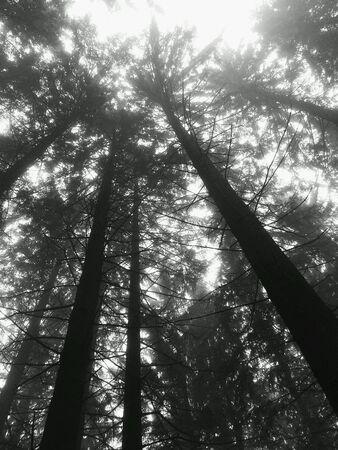 arboles blanco y negro: Mirando hacia arriba del bosque. En Negro Blanco