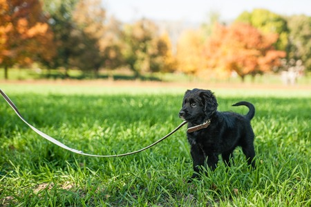 leash: Young retriever puppy first time on a leash