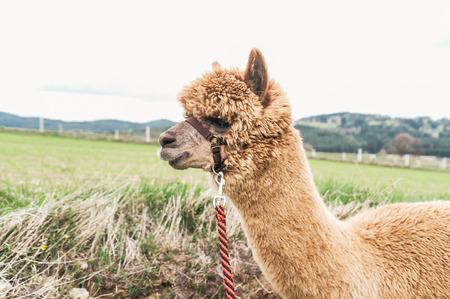 rein: Fluffy Alpaca with red rein