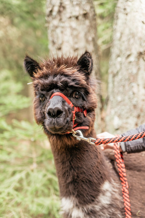 rein: Brown fluffy alpaca  with red rein