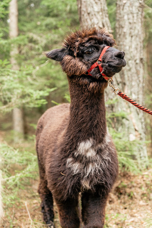 rein: Young fluffy brown alpaca with rein