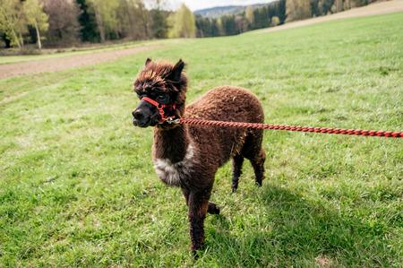 rein: Running fluffy brown alpaca on the rein
