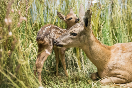 fawn: Close up of a deer family in the grass