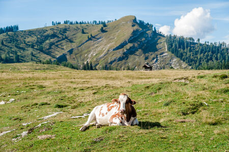 resting cow in the austrian alps photo