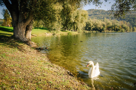 water's edge: White swan swimming in a lake near a waters edge