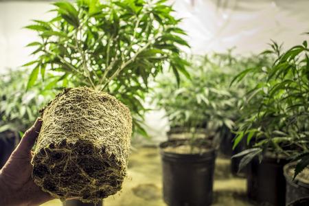 Marihuana plantenwortels in transplanteren