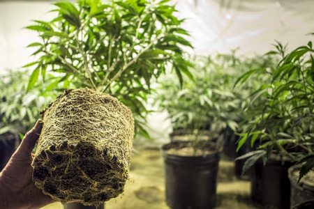 hanf: Marijuana Plant Roots in Topfen