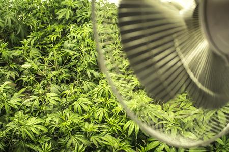 Indoor Gebied van marihuana planten onder Fan