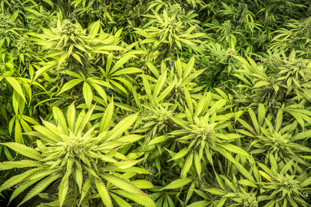 medicinal marijuana: Canopy of Indoor Marijuana Garden Mature Plants with Buds and Leaves Stock Photo