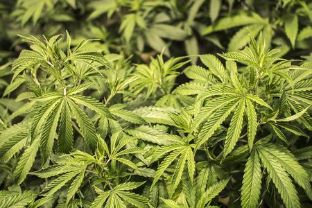 Marihuana bladeren groeien op Plant Indoor