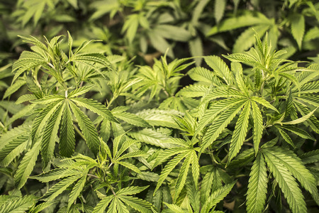 hemp: Marijuanablatten wachsen auf Pflanzen Indoor