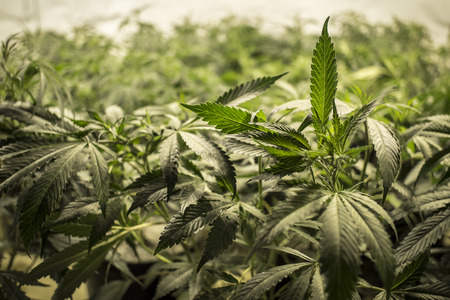 hemp: Marihuana-Blätter auf Top of Plants Lizenzfreie Bilder