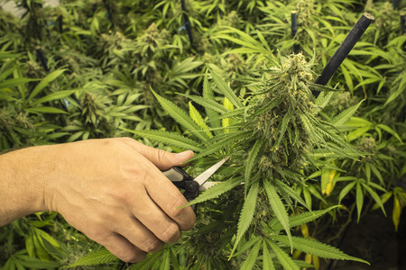 marijuana plant: Man with Scissors Trimming Marijuana Plant