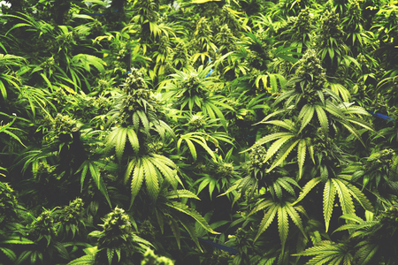 Background Texture of Marijuana Plants at Indoor Cannabis Farm Vintage Style