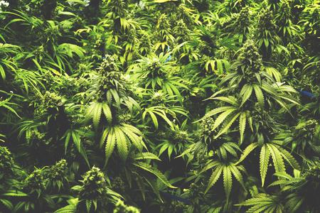 hoja marihuana: La textura de fondo de la marihuana plantas en estilo de la vendimia cubierta Cannabis Granja