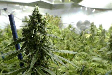 大麻ファームでライトの下で屋内植物に大きなマリファナの芽 写真素材