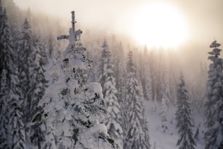 hazy: Snow Covered Tree Tops with Hazy Sunset in Mountain Forest