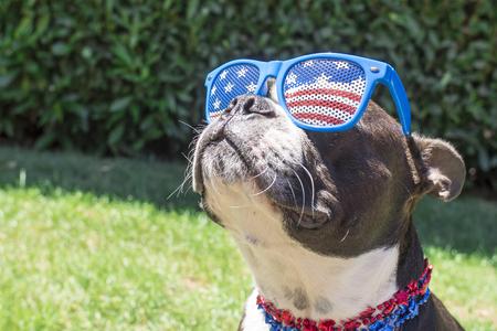 julio: Mirando perro de Boston Terrier lindo en las barras y estrellas de la bandera de las gafas de sol Foto de archivo