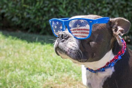7 月 4 日のサングラス、ネックレスを身に着けているボストン テリア犬 写真素材