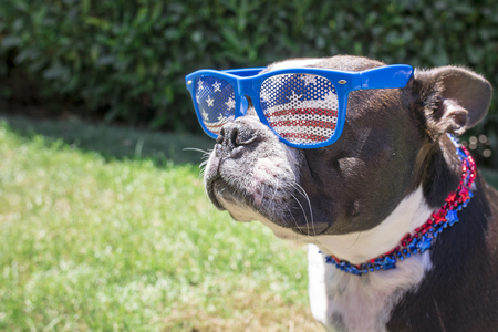 Boston Terrier Dog Wearing Fourth of July Sunglasses and Necklace