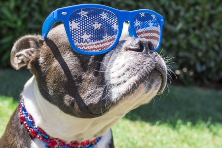 blue stars: Close Up Boston Terrier Dog Wearing Stars and Stripes Sunglasses on Fourth of