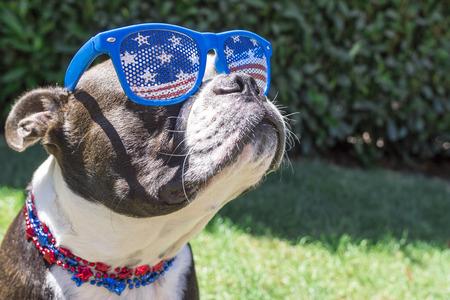 Perro de Boston Terrier lindo que lleva el Cuatro de Julio las barras y estrellas de sol a