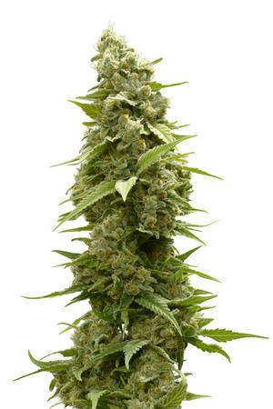 흰 배경에 고립 대마초 식물의 맨 위에 긴 마리화나 버드
