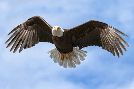 Close up shot of United States iconic bird facing camera with wings spread in flight