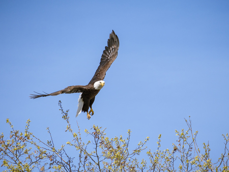 American national bird lifting off from tree to soar the sunny blue skies Stock Photo