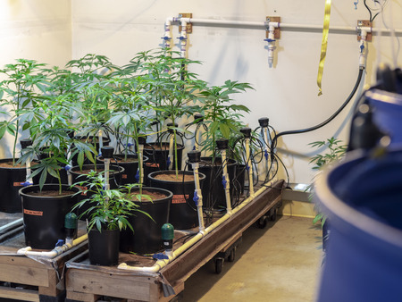 Cannabis farm water process
