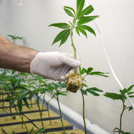 Weed room operation in beginning stage