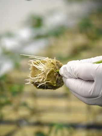 Close up beginning stage of cannabis planting Reklamní fotografie
