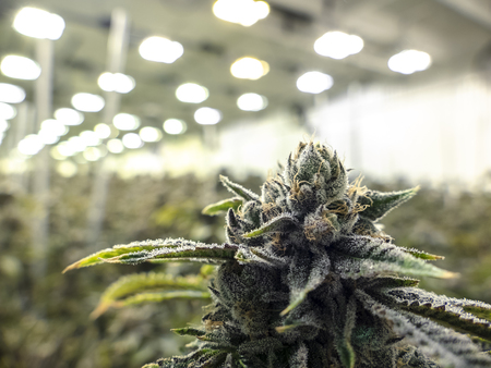 Indoor marijauna facility growing sea of cannabis plants in the background with texture nug in the foreground 免版税图像