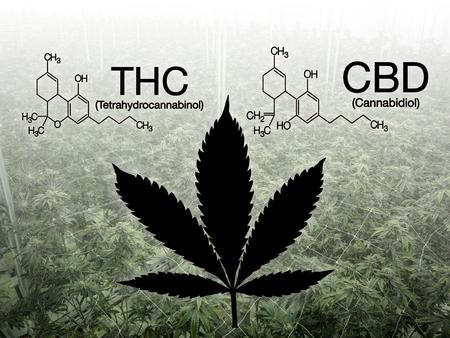 Info image of Cannabidiol versus Tetrahydrocannabinol cannabis