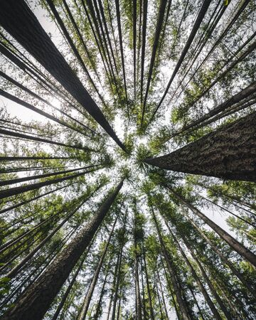 Beautiful abstract nature background with tall trees POV looking up at forest crown