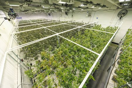 Overhead view of large grow room at industrial pot facility Archivio Fotografico