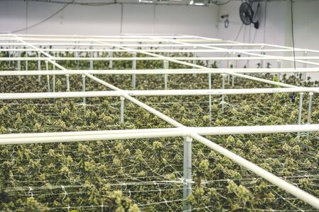 Rows of legal pot growing at indoor farm 版權商用圖片