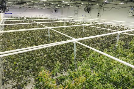 Weed farm grid of industrial pot garden plants with full grown buds
