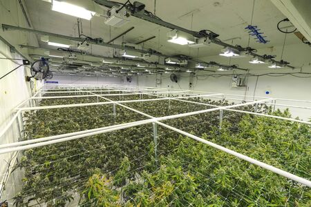 Industrial legal weed farm with full grown plant canopy