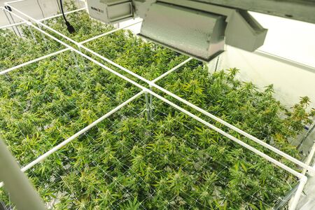 Marijuana plants growing at indoor pot farm for dispensary 版權商用圖片