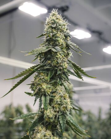 Large top cola nug on mature cannabis plant growing at legal farm