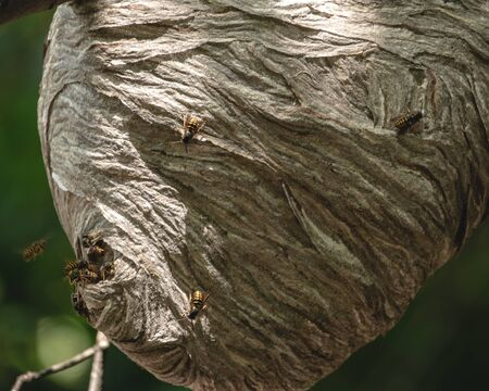 Large paper nest in trees covered with bees