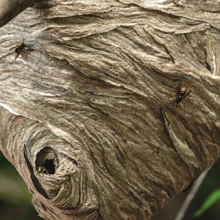 Extreme close up of bee nest hole in tree branch 版權商用圖片