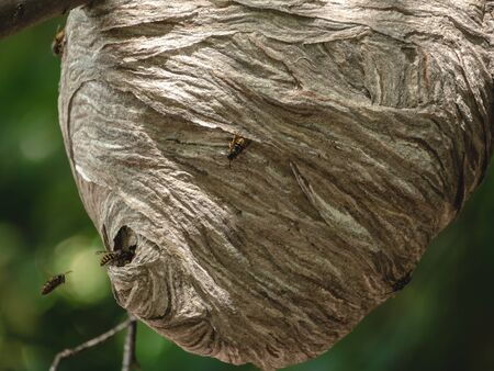 Bees fly in and out of hole in paper nest hanging from tree branch 版權商用圖片
